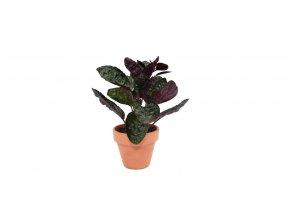 Gardners.cz Hemigraphis Purple Ruffle, průměr 6 cm