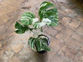 Monstera deliciosa variegata, průměr 17 cm