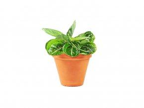 Calathea Roseoptica Green Goddess 12cm