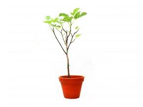 Ficus carica,21cm