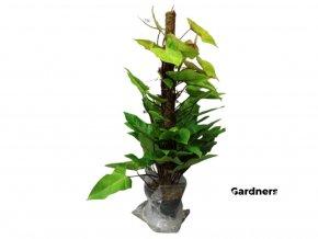 Philodendron Painted Lady, průměr 24 cm  Filodendron
