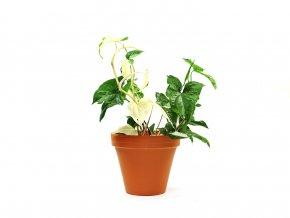 Syngonium albo variegata, 15cm