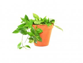 Hoya carnosa Gracilis, průměr 12 cm  Hoja, voskovka