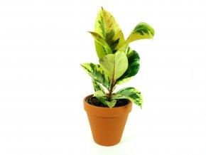 Gardners.cz Ficus elastica Shivereana 2