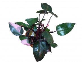 Philodendron Pink Princess, průměr 15 cm  Filodendron