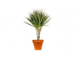 Dracaena marginata Bicolor, průměr 24 cm