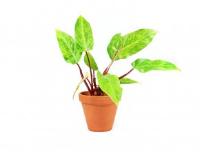 Philodendron Painted Lady 12cm