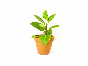 Ficus elastica Altissima, 12cm