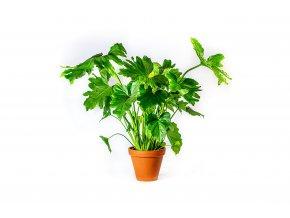Gardners.cz Philodendron Shangri La, průměr 14 cm
