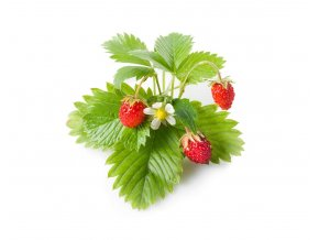 Wild Strawberry plant 1200x960