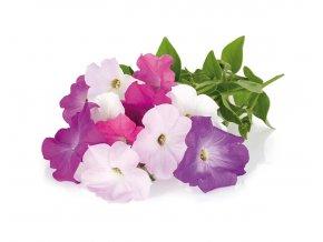 Petunia plant 1200x960