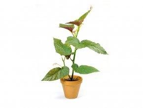 Begonia Corallina, 14cm