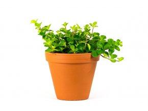 Gardners.cz Peperomia rotundifolia