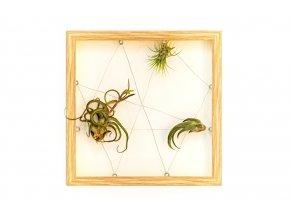 """Obraz z živých rostlin """"Jogín"""" 3 tillandsie, 33x33cm, dub"""