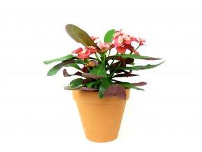 Gardners.cz Euphorbia milli