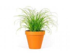 Gardners.cz Cyperus kočičí tráva