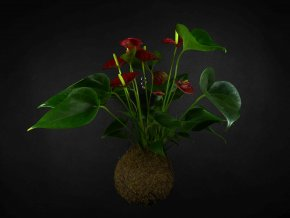 Gardners.cz Anthurium červená (2)