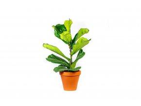 Gardners.cz Ficus lyrata, průměr 17 cm