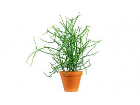 Gardners.cz. Euphorbia tirucalli