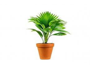 Gardners.cz Livistona rotundifolia