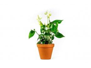 Gardners.cz. Anthurium bílá white