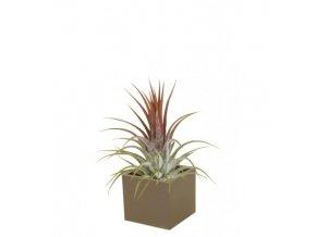 Gardners.cz Set magnetického květináče CUBE 3,5cm s Tillandsia Ionantha, hnědá