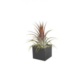 Set magnetického květináče CUBE 3,5cm s Tillandsia Ionantha, tmavě šedivá