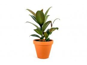 Gardners.cz Ficus elastica