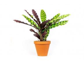Gardners.cz Calathea Lancifolia (2)
