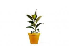 Gardners.cz Ficus elastica pink 2