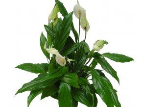 Spathiphyllum, více velikostí