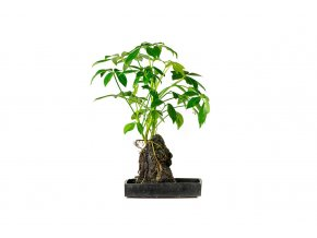 Gardners.cz rostliny na lávovem kameni (3)