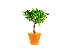 Gardners.cz Ficus microcarpa Moclame na kmínku (1)