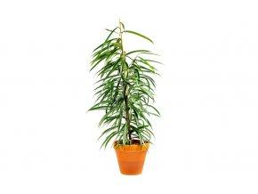 Gardners.cz Ficus bin. Alii