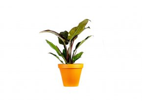 Gardners.cz Philodendron imperial red