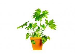 Gardners.cz Philodendron bipinnatifidum Little Hope