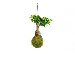 Gardners.cz kokedama Kokedama Ficus Microcarpa Giseng, extra velká