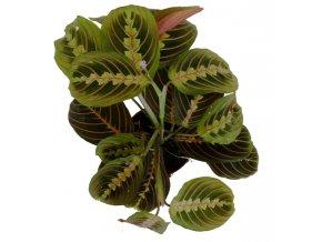 Maranta tricolor, průměr 12cm