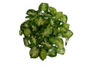 Syngonium podophyllum Pixie, průměr 12cm