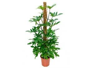 Philodendron pedatum s kokosovou vzpěrou 120 cm, průměr 24 cm