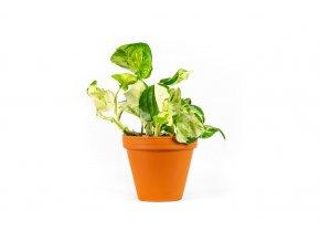 Gardners.cz Epipremnum happy leaf