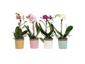 Gardners.cz phaleonopsis s květináčem