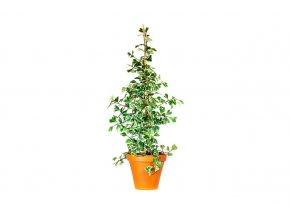 Gardners.cz Ficus deltoidea jack