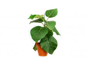 Gardners.cz Ficus everest