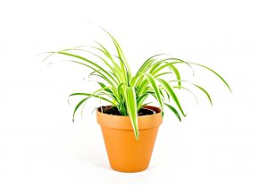 Gardners.cz Chlorophytum