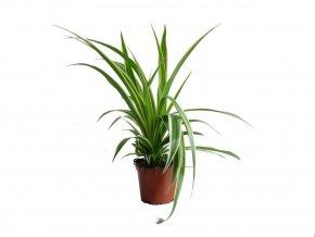 Chlorophytum comosum, průměr 11cm