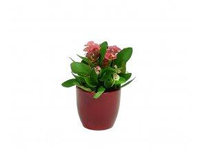 Euphorbia milli 2