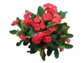 Euphorbia milii, průměr 6cm