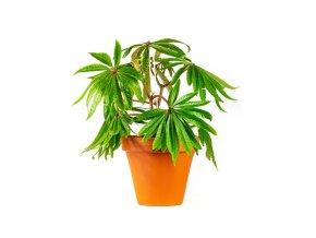 Gardners.cz Begonia luxurians