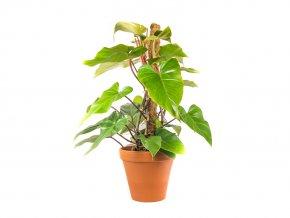 Gardens.cz Philodendron s kokosovou vzpěrou